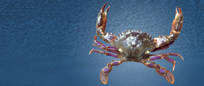 Pest crab warning