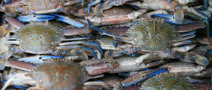 Protecting our South West blue swimmer crab resource