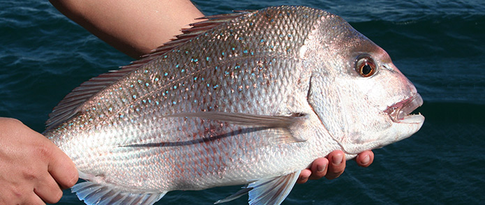 Shark Bay pink snapper
