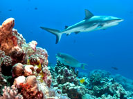 A shark swimming among coral reefs
