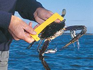 A crabber using a crab gauge to check if a crab is undersize