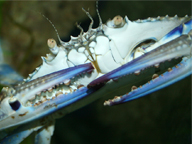 A close-up shot of a blue swimmer crab holding its blue claws ready for action.