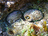 Two greenlip abalone on a reef