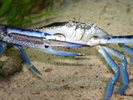 Blue swimmer crab standing on a sandy sea bed