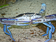 A blue swimmer crab on the seafloor