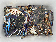 Plastic container loaded with blue swimmer crabs