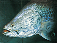 Close up of a barramundi in an aquaculture environment