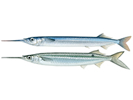 Illustrations showing differnt species of garfish