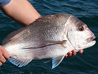 Large pink snapper held after being caught