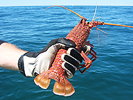 Rock lobster with its tail clipped being held by a fisher