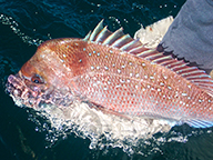 A large pink snapper being released from a boat