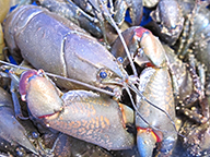 Close up of yabby showing head and colourful claws