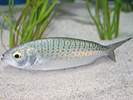 A small herring swimming above a sandy sea floor