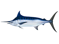 A drawing by Roger Swainston of a blue marlin