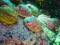 A number of large abalone on an Augusta reef