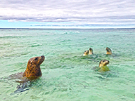 A small group of sea lions playing in shallow ocean water