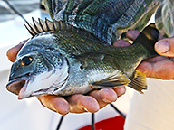 Freshly caught black bream lies in fishers hand ready for release