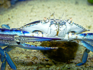A close up of a blue swimmer crab on a sandy ocean floor