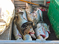 A number of large barramundi stacked in the hull of a small boat.