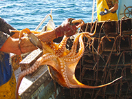 A close up of an octopus being handled by a commercial fisher