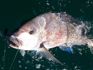 A hooked pink snapper reeled up to the surface