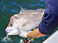 A recreational fisher holding a large pink snapper