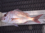 An undersized pink snapper laying on top of a fish ruler