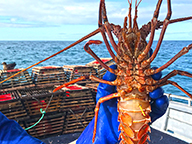 A fisher holding a lobster to show tag underneath its body