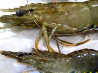 Two prawns showing signs of White Spot Syndrome Virus