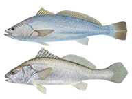 A comparison of a mulloway and black jewfish, showing the different tails