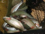 A net full of rainbow trout