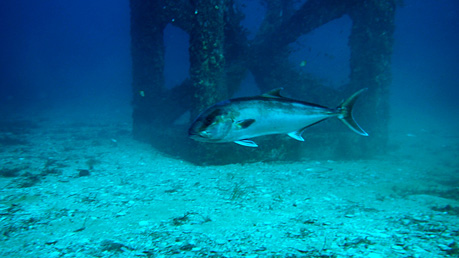 A Samson fish swimming by an artificial reef module