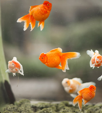 Keeping ornamental fish for Ornamental pond fish types