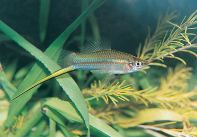 photo of a Swordtails