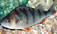 photo of a Redfin Perch