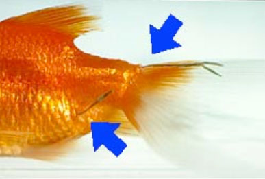 photo of a goldfish with attached learnea