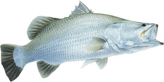 barramundi illustration