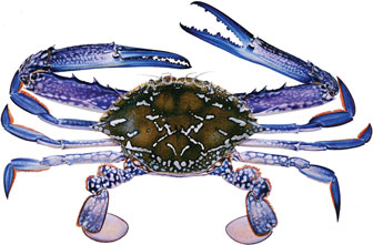 Illustration of a blue swimmer crab