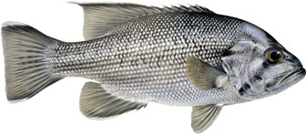 illustration of a West Australian dhufish