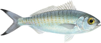 australian herring illustration