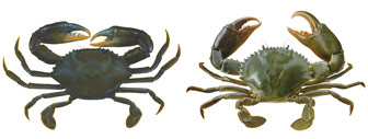 mud crabs, brown crab on left, green crab on right
