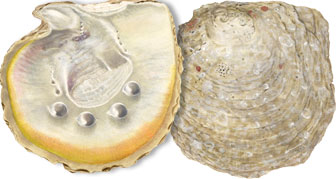 pearl oyster illustration