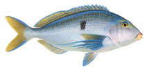 illustration of a blue morwong