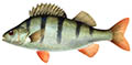 redfin perch illustration