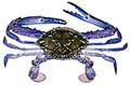 blue swimmer crab illustration