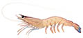 Western king prawn illustration
