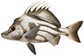 Boarfish illustration