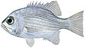 Pearl perch illustration