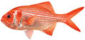 Redfish illustration