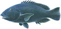 Western blue groper illustration